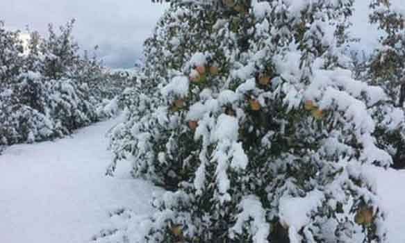 Snow destroys Lahaul apple crop