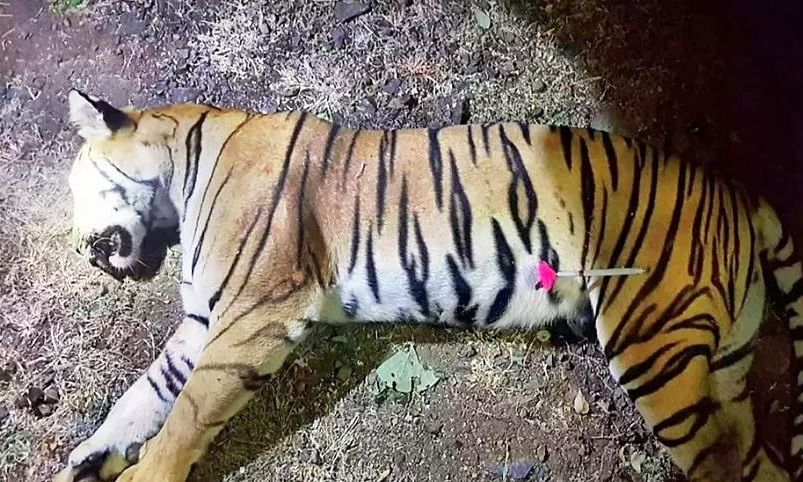 Maharashtra govt opposes Maneka's criticism over Tigress Avni's killing