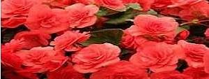 A potted plant with 122 roses blooming vies for entry in Limca Book of Records