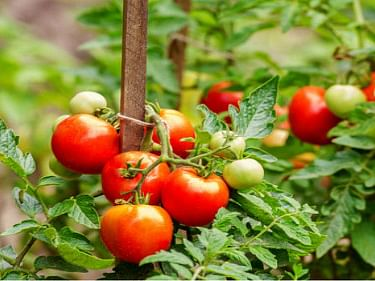 It Is Best To Eat Tomatoes Cooked