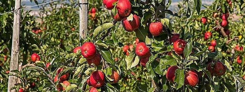 Apple growers advised to inform insurance company about loss