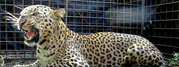Leopard was successfully trapped in a cage