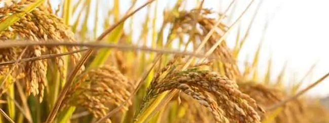1000 MT paddy procurement targeted in Tripura this season