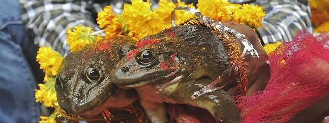 Frog wedding to please rain God