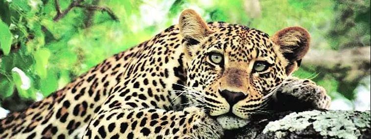 Leopard kills woman in farm near forest in Gujarat