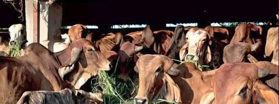 Govt land available for cowsheds in MP