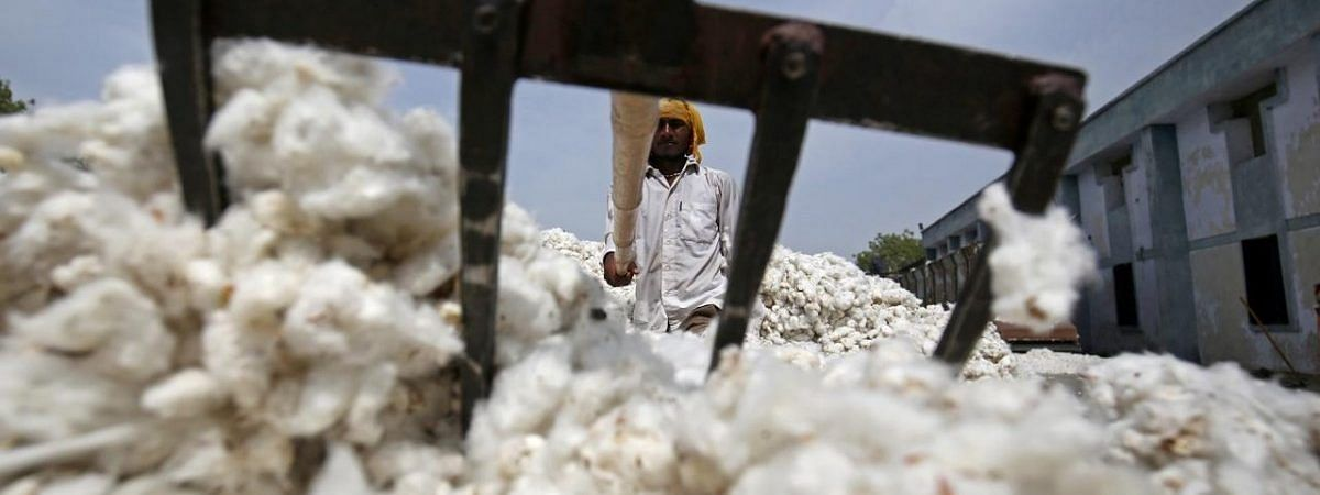 Crackdown on BT cotton farmers in Maharashtra