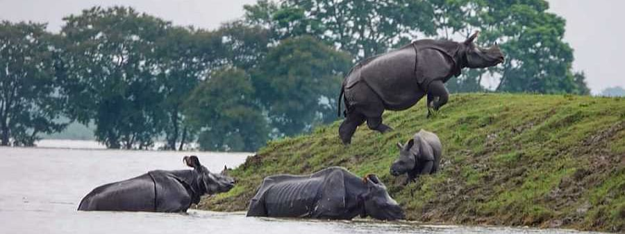 Assam floods: Kaziranga animals in danger, 17 already die