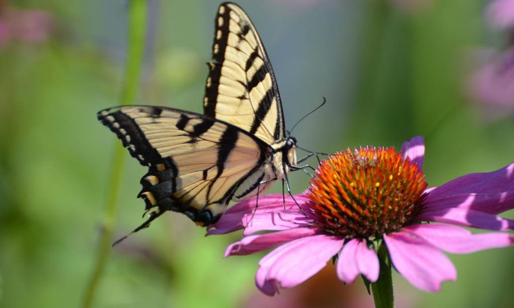 Ohio lost 1/3rd of its butterflies in 21 years