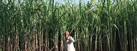 Cabinet approves sugarcane FRP at Rs 275 per quintal