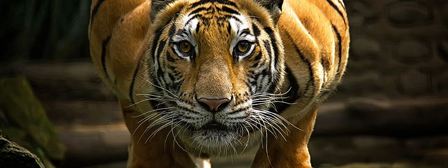 Tiger drags away crab catcher