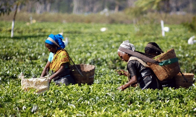 Tea industry's appeal to govt for its survival
