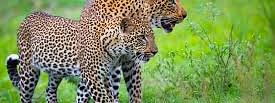 Two Leopard cubs crushed under wheels in Nashik