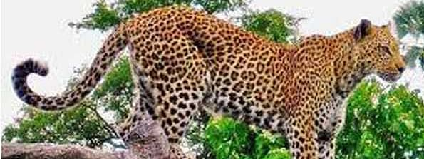 Body of lioness found, leopard electrocuted near Gir forests