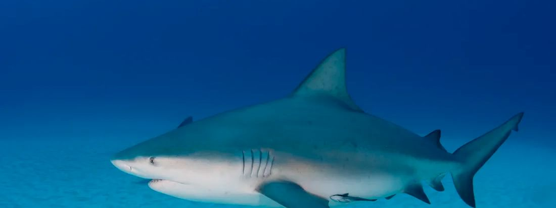 Survival of endangered sharks hangs in the balance