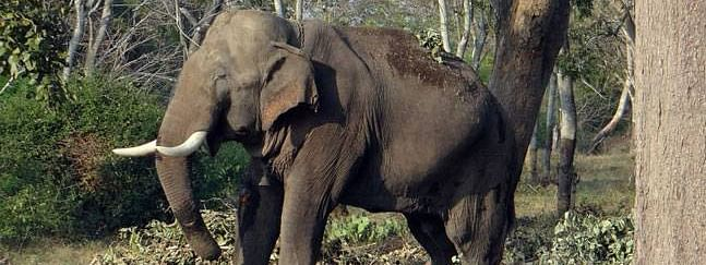 A 55 year-old elephant electrocuted