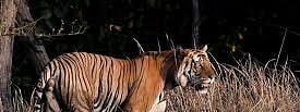 Low male tiger population in Bangladesh, worrisome