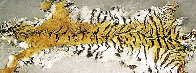 Man convicted for smuggling tiger body parts