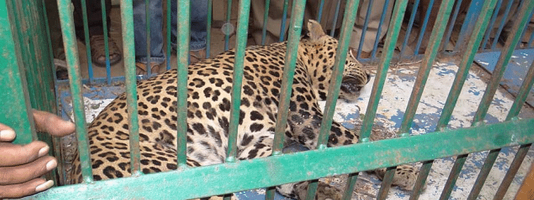 Two leopards trapped in Tumakur