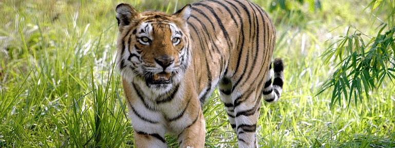 Massive operation launched to capture tiger which killed two
