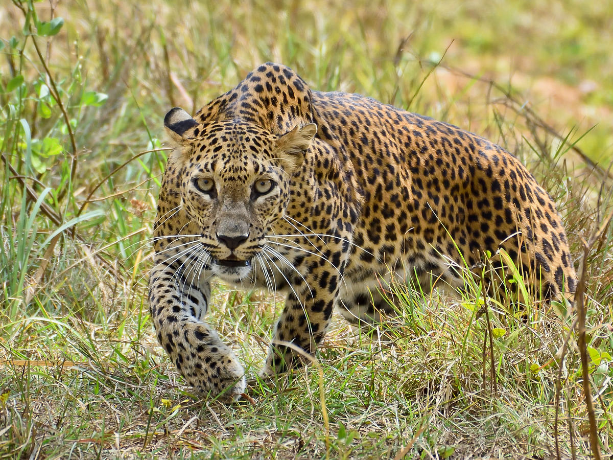 One more leopard caught from area close to Gir forests