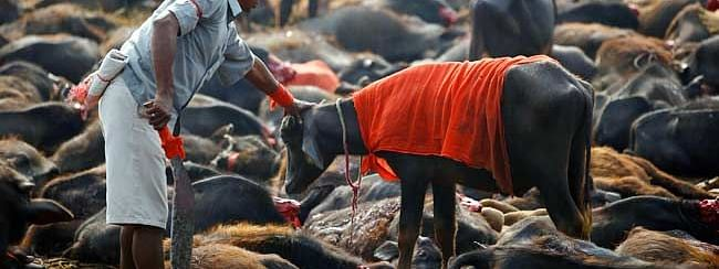 Humane Society I'ntl to protect animals being sacrificed at Gadhimai festival