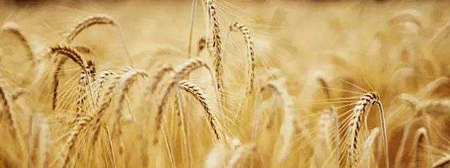 India expects bumper wheat harvest
