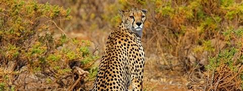 SC okays introduction of African Cheetah in India