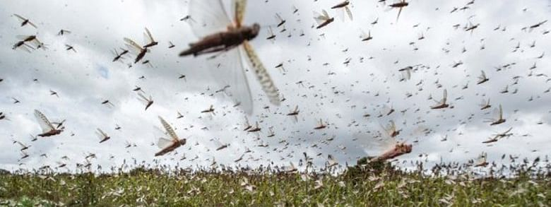 Locust attack: UP Govt issues alert, asks farmers to make noise