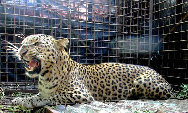 Leopardess trapped in Nashik