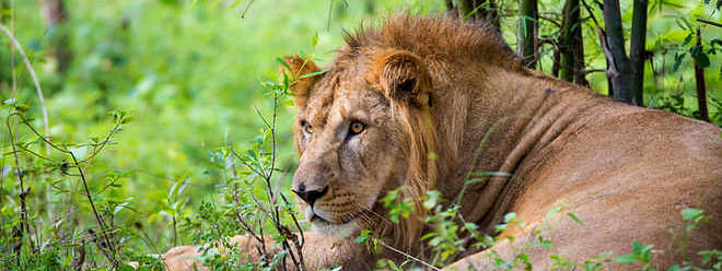 Gujarat: lioness killed 5 yrs old boy