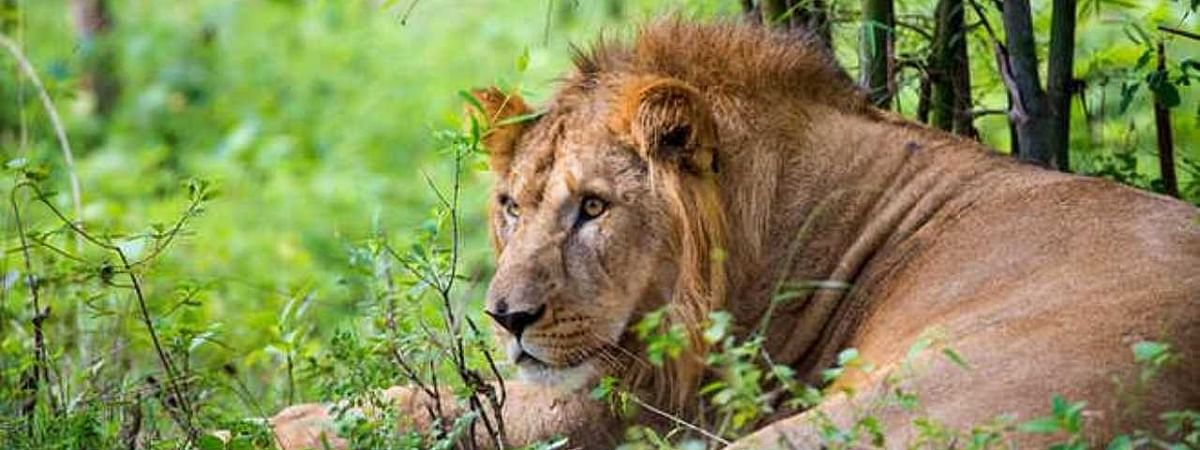 Gujarat: Man-eater lioness caught with 2 cubs