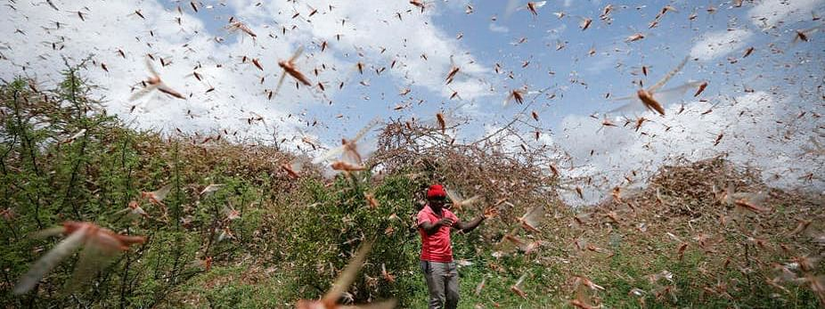 Locusts, no threat to urban areas: UN