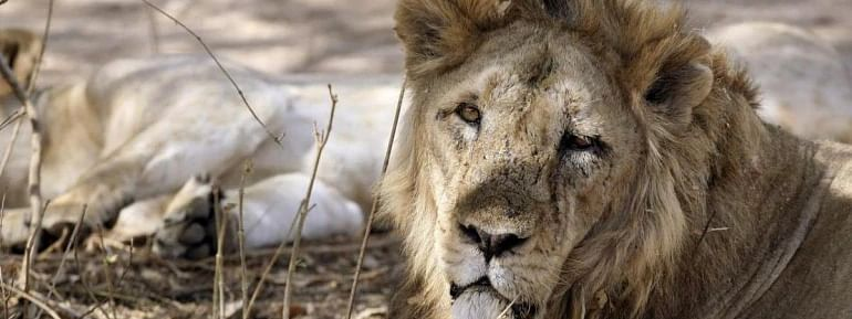 Gujarat: 261 lion deaths took place in last two yrs, only 17 unnatural