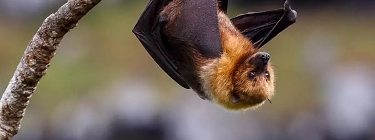 Death of bats in Karaserry causes panic