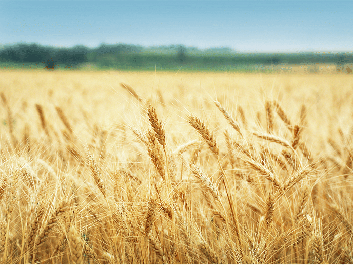 Wheat arrivals late at mandis