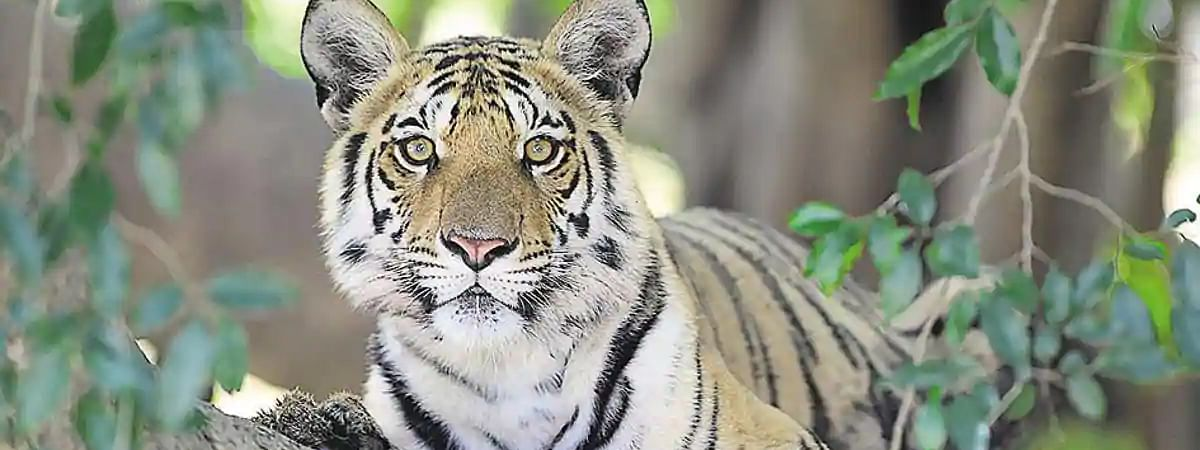 Tiger mauls man to death at Pench Reserve