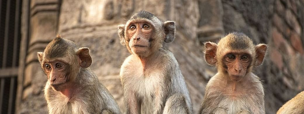 Lockdown Impact: Monkey bites on rise in Ayodhya