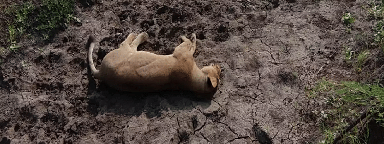 Body of lion found in Gir forests of Gujarat