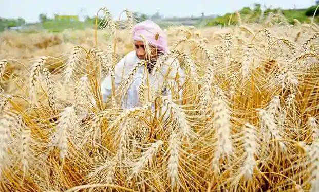 Farmer booked for bringing labour from Punjab for harvesting wheat