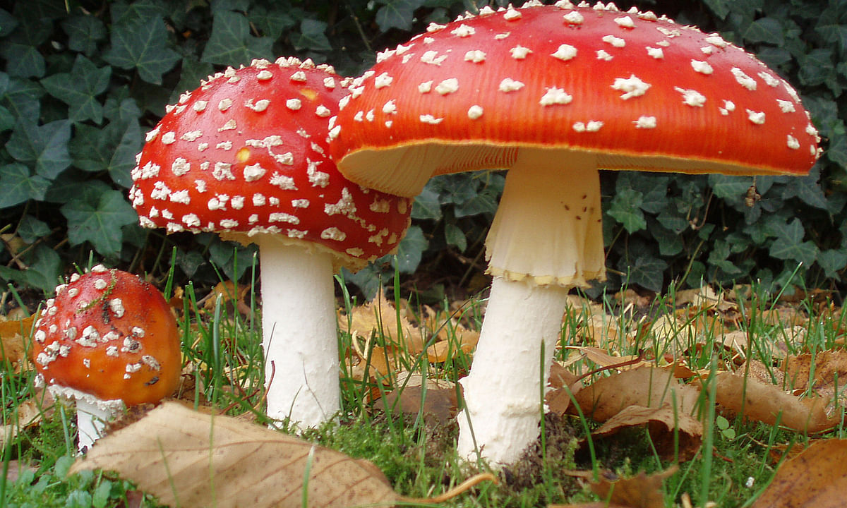 Death toll rose to six for eating poisonous mushroom in Meghalaya
