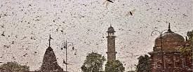 Delhi govt issues advisory for spraying pesticides to deal with locust attack