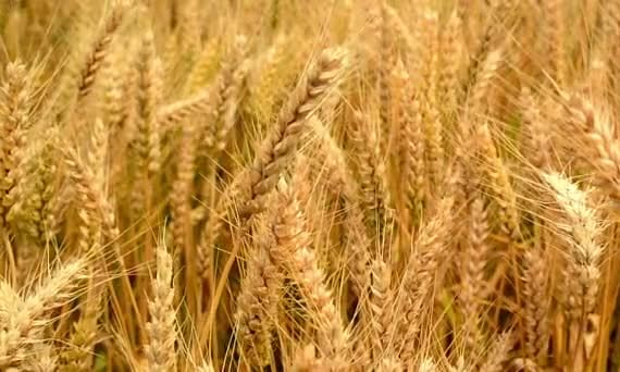 Punjab procures over 90 L tn wheat in 19 days