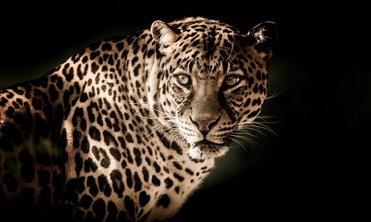 Leopard spotted on outskirts of Hyderabad city still untraced