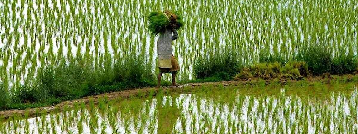 Agri experts for farmers cultivating paddy in 60 to 65 lakh acres annually