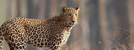 K'taka forest dept launches hunt for man-eating leopard