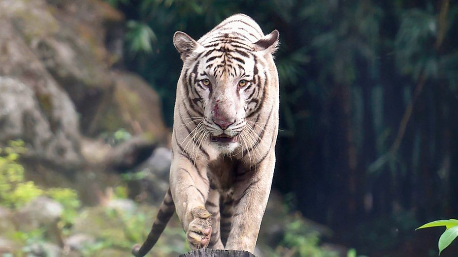 Forest Min Rajiv Banerjee, Forest Dept staff come face to face with tiger