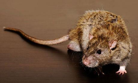 कोरोना के बाद अब चूहों से परेशान ऑस्ट्रेलिया ने भारत से कहा हमें जहर दे दो, प्रतिबंधित है ये खतरनाक केमिकल