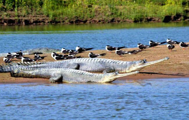 Bihar News: गंडक नदी बनेगी कंजर्वेशन रिजर्व, बड़ी संख्या में मौजूद हैं घड़ियाल, मगरमच्छ, डॉल्फिन और कछुअे