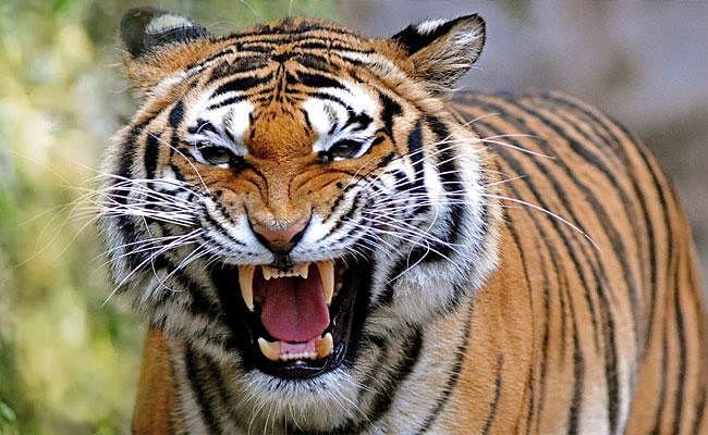 बिहार: खेत में ताक लगाकर बैठे बाघ ने किसानों पर किया हमला, पति-पत्नी की मौत, चंपारण में बना दशहत का माहौल